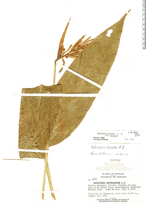 Specimen: Heliconia hirsuta