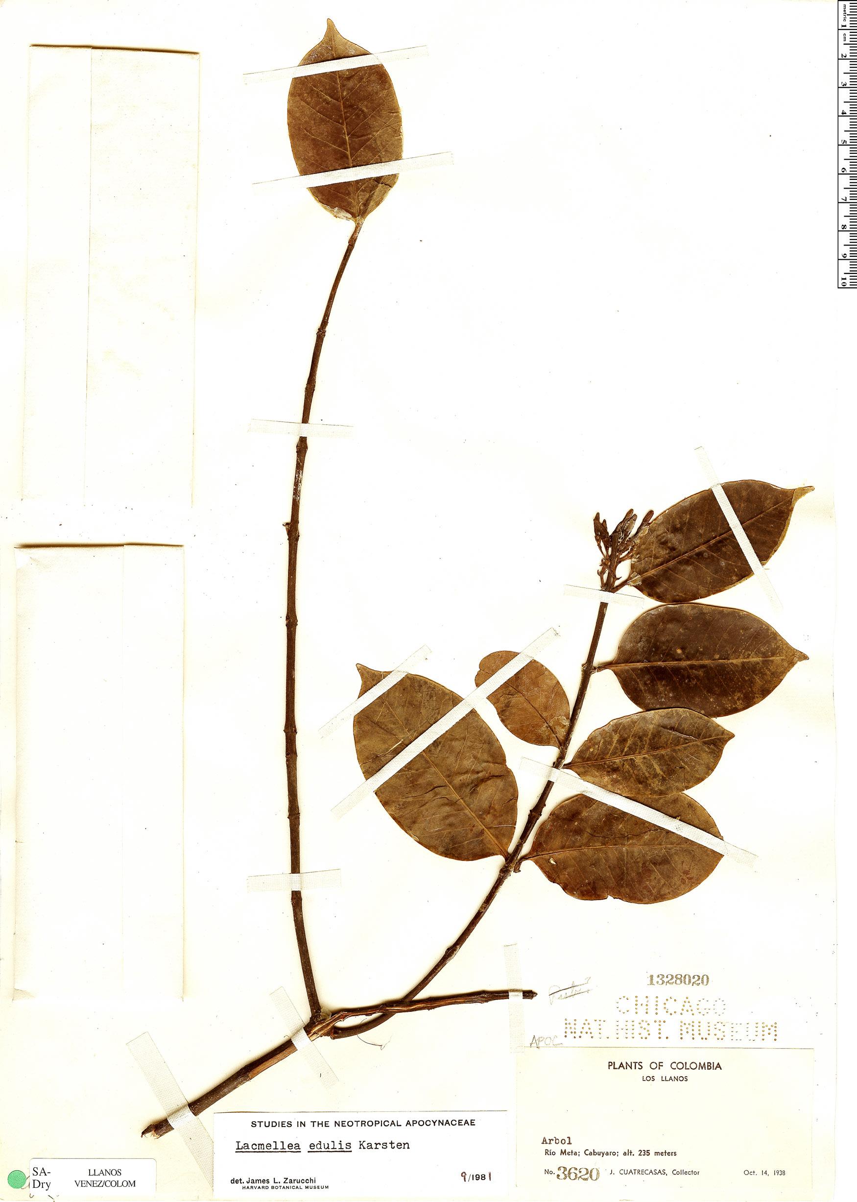 Specimen: Lacmellea edulis