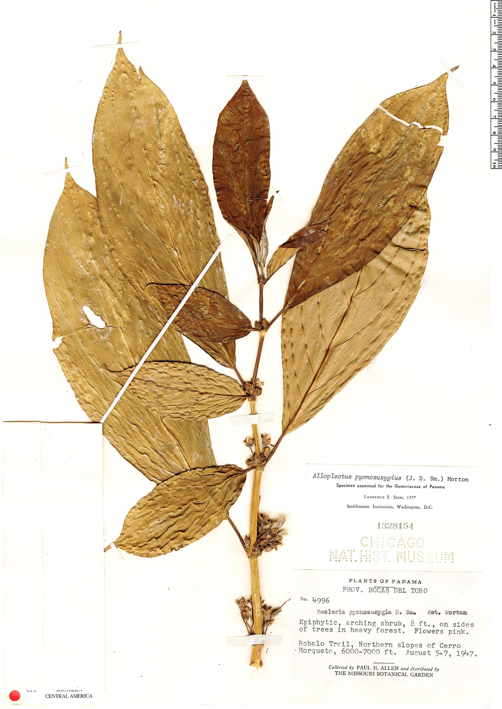Specimen: Glossoloma pycnosuzygium