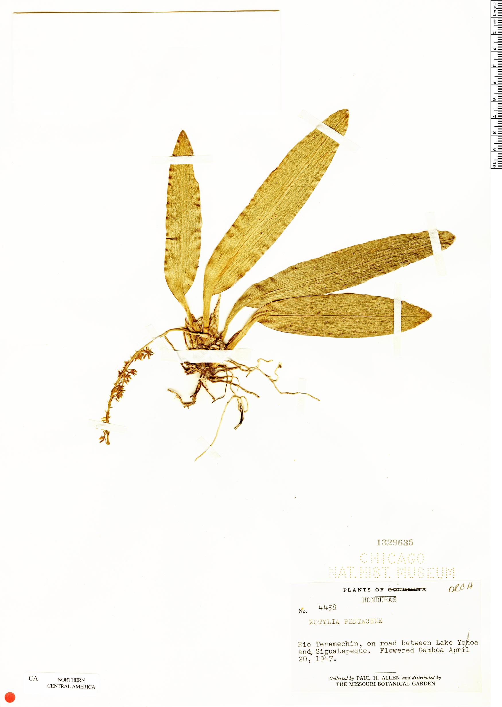 Specimen: Notylia pentachne