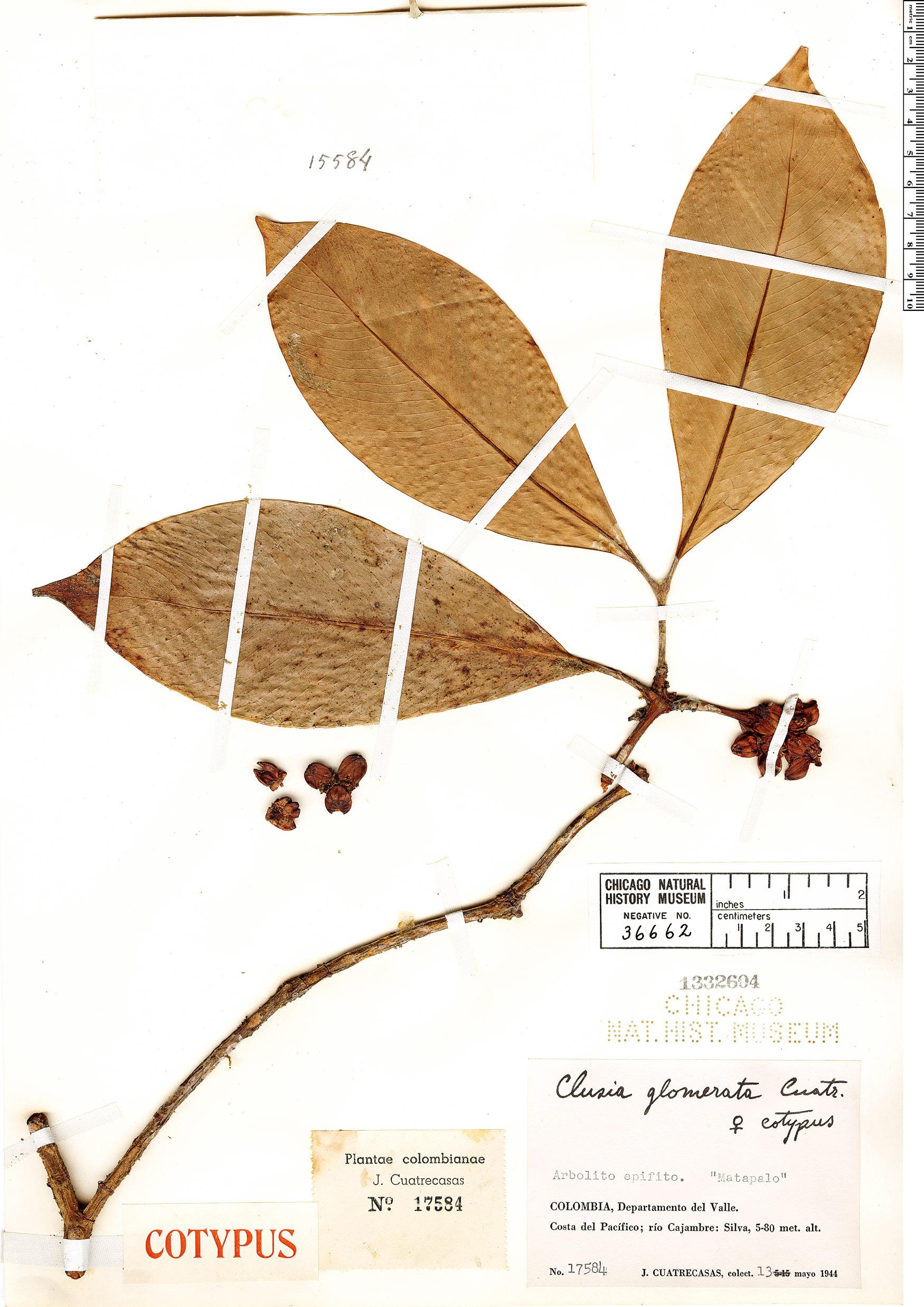 Specimen: Clusia glomerata