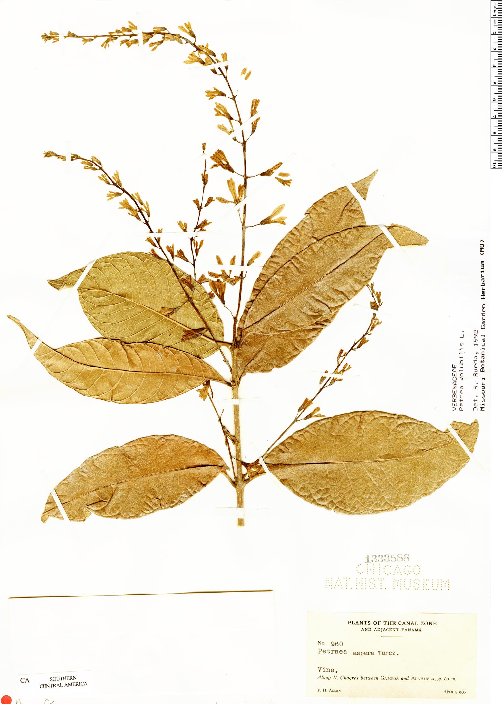 Specimen: Petrea volubilis