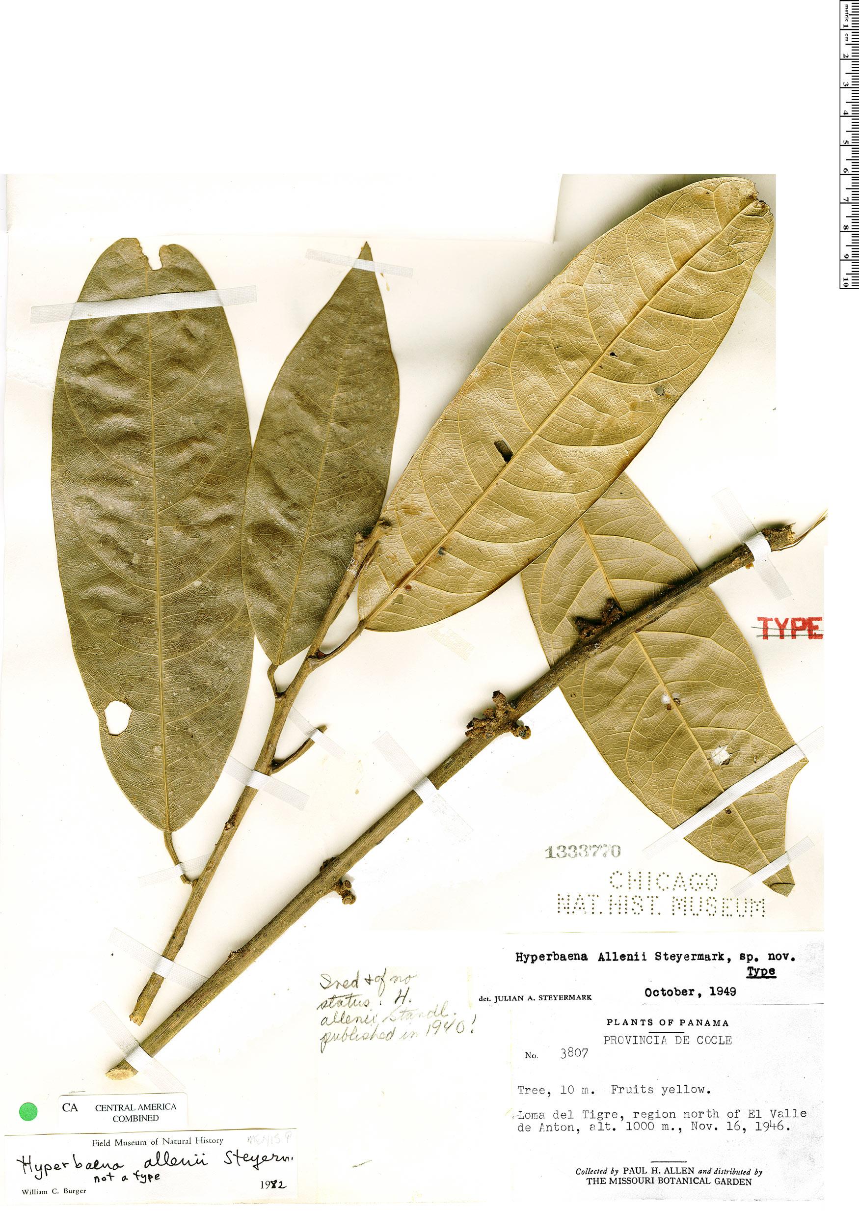 Specimen: Hyperbaena allenii