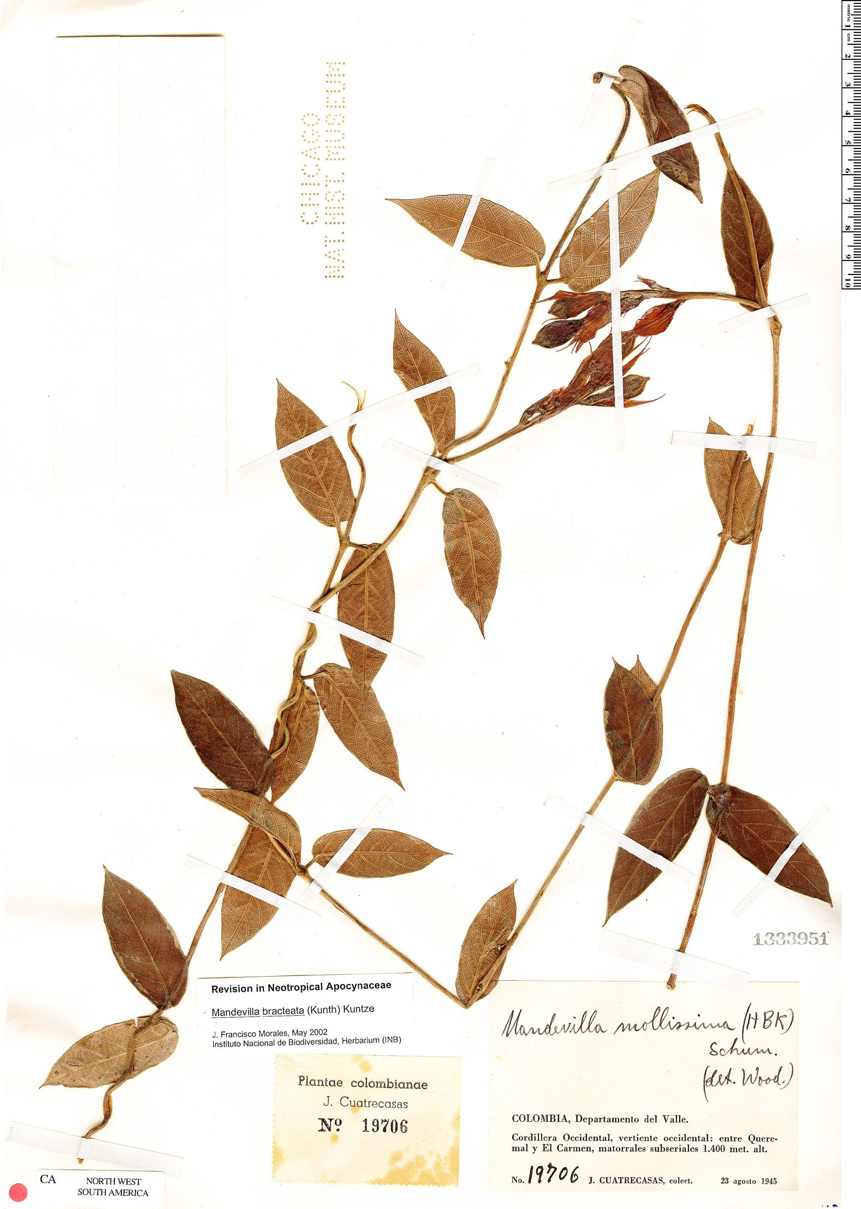 Espécimen: Mandevilla bracteata