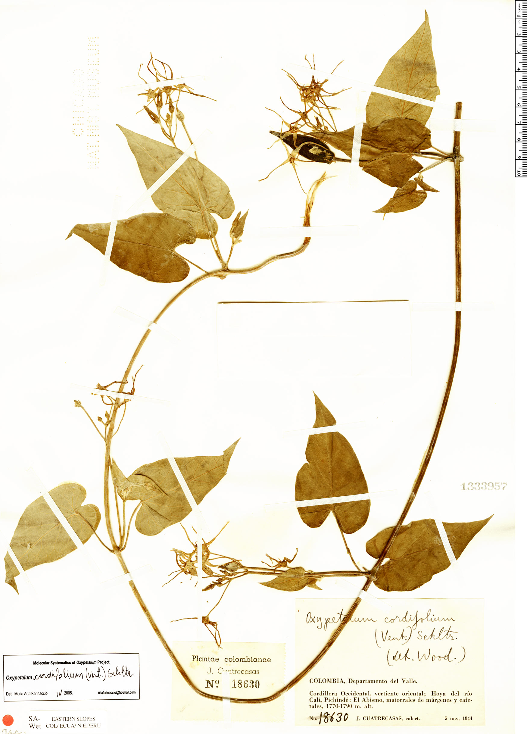 Espécime: Oxypetalum cordifolium