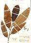 Virola macrocarpa A. C. Sm., Colombia, J. Cuatrecasas 15596, F