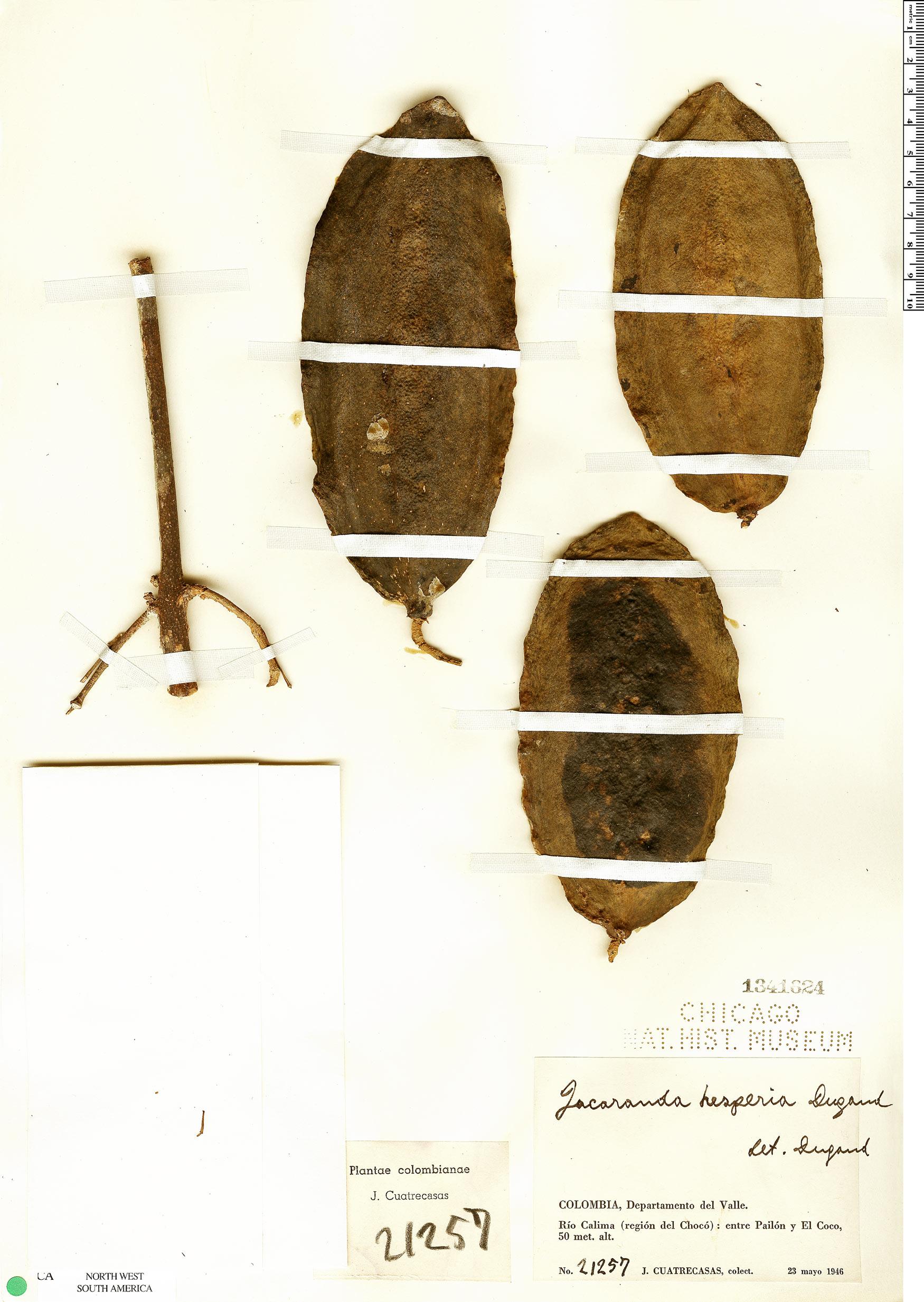Specimen: Jacaranda hesperia