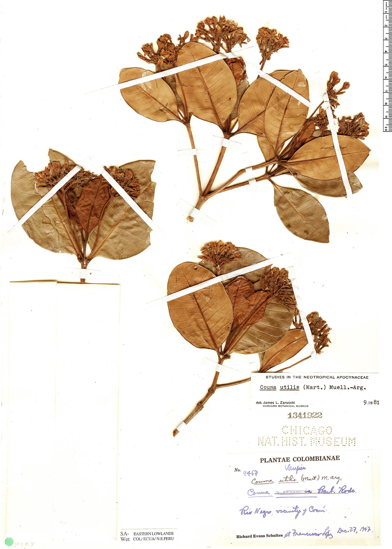 Espécime: Couma utilis