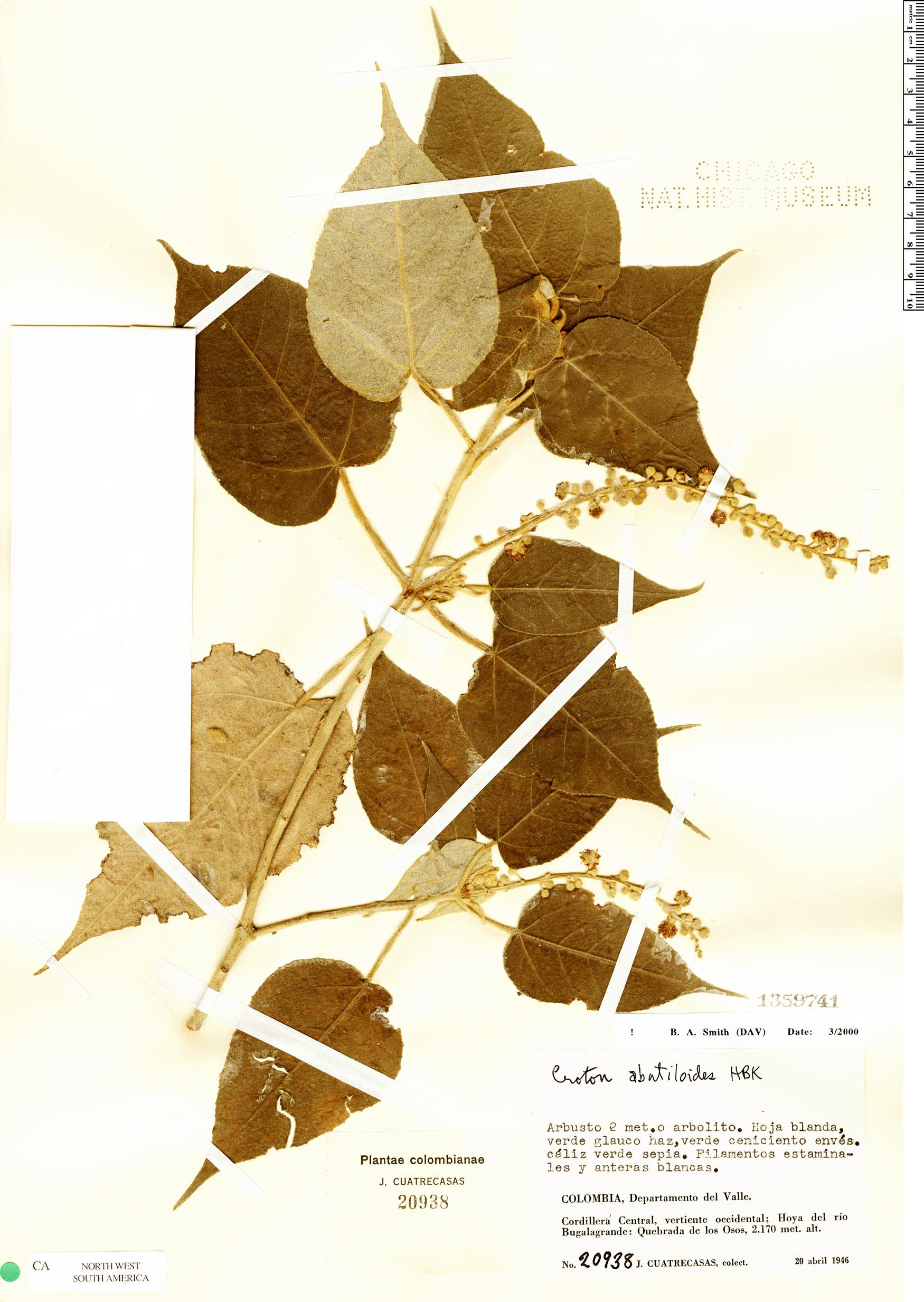 Specimen: Croton abutiloides