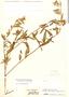 Sida setosa, Colombia, J. Cuatrecasas 16331, F