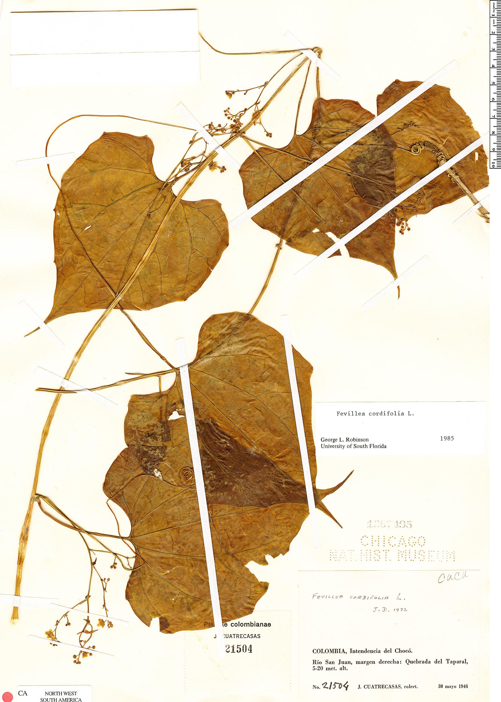 Specimen: Fevillea cordifolia