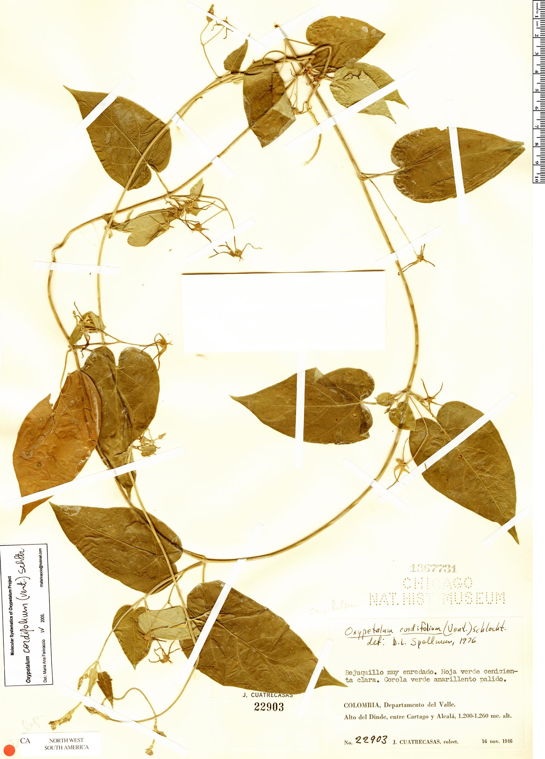 Specimen: Oxypetalum cordifolium