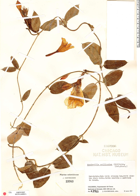 Specimen: Mandevilla mollissima