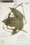 Gurania rhizantha (Poepp. & Endl.) C. Jeffrey, Peru, T. C. Plowman 11710, F