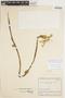 Gurania rhizantha (Poepp. & Endl.) C. Jeffrey, COLOMBIA, J. Cuatrecasas 10619, F