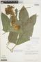 Gurania rhizantha (Poepp. & Endl.) C. Jeffrey, PERU, T. C. Plowman 7211, F