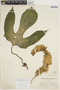 Gurania rhizantha (Poepp. & Endl.) C. Jeffrey, Peru, G. Klug 786, F