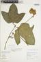 Gurania rhizantha (Poepp. & Endl.) C. Jeffrey, Peru, W. D. MacRae 44, F