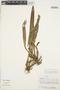Maxillaria rufescens image