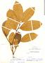 Helicostylis scabra, Colombia, R. E. Schultes 9311, F