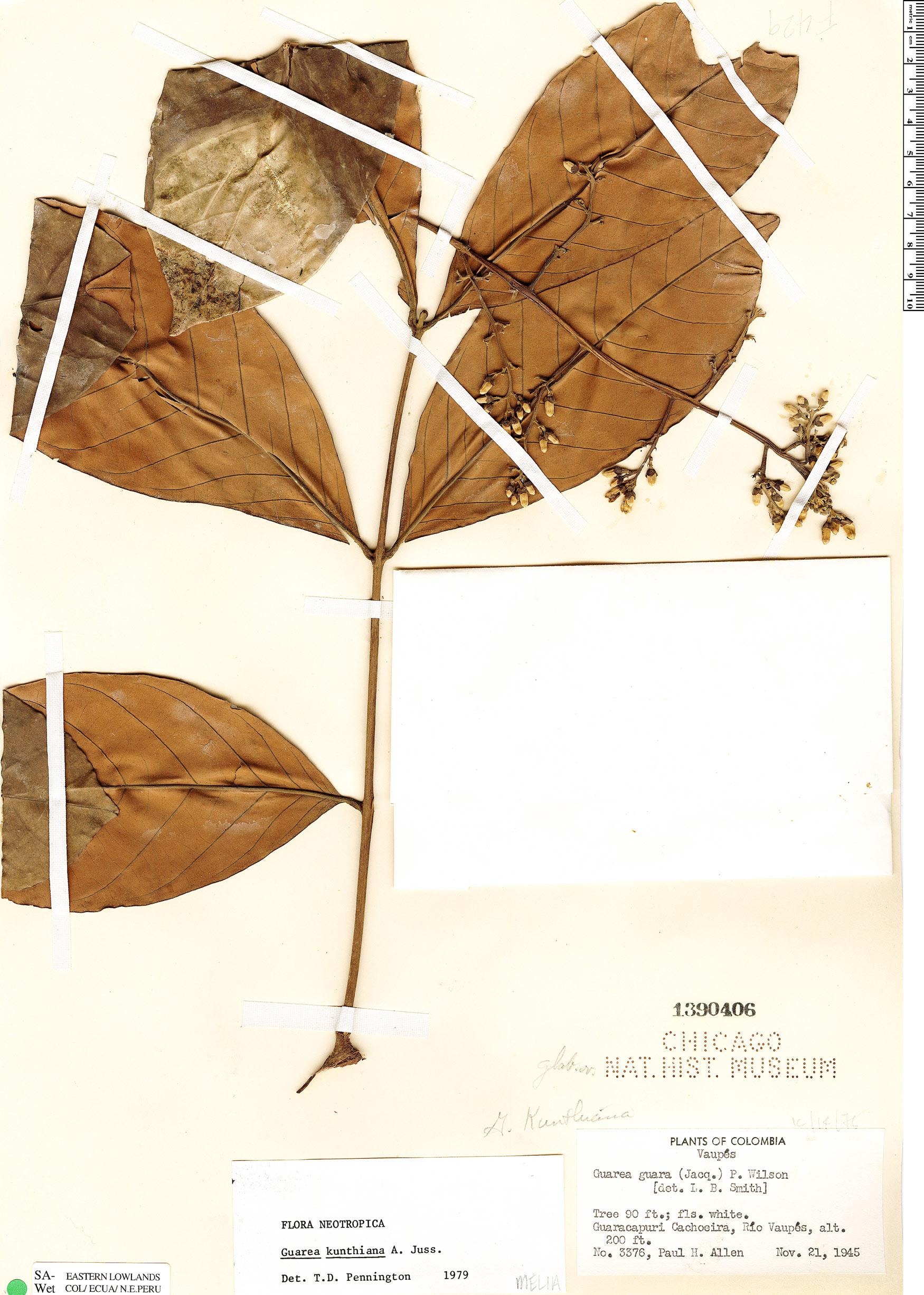 Espécimen: Guarea kunthiana