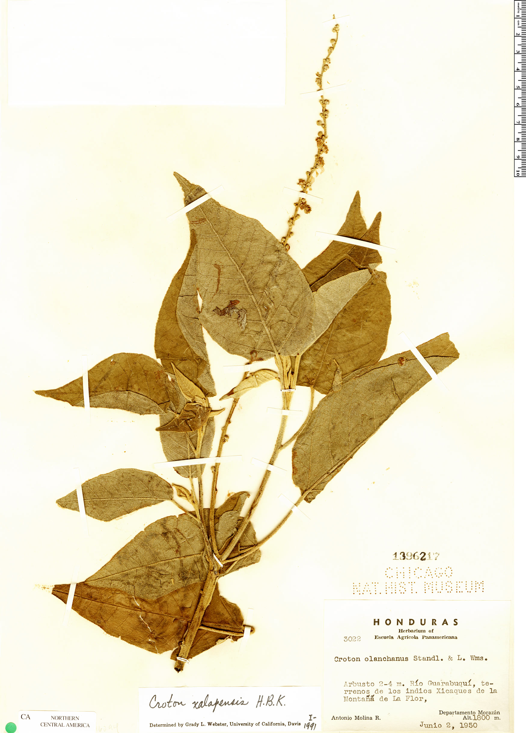 Specimen: Croton xalapensis