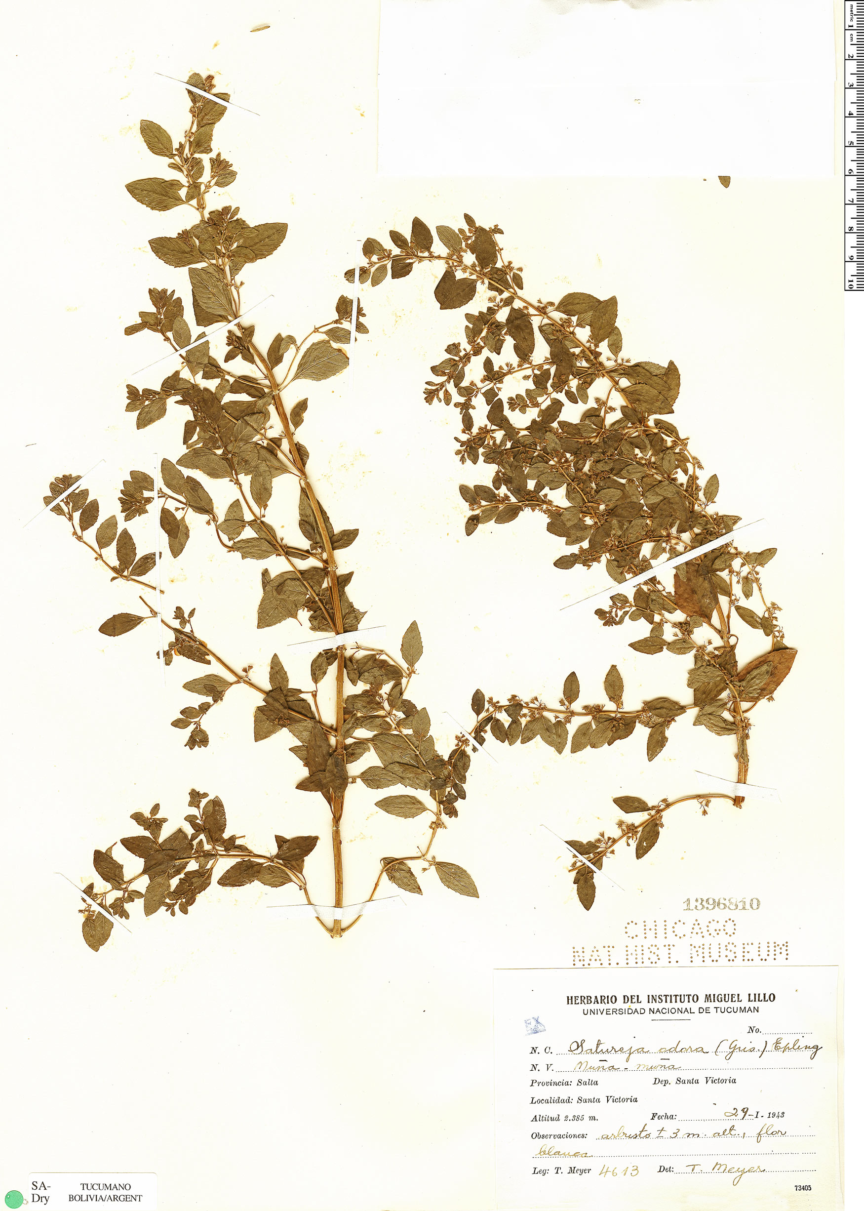 Specimen: Clinopodium odorum