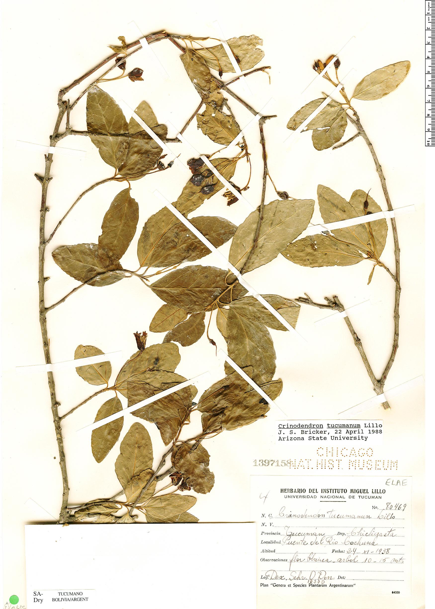 Espécimen: Crinodendron tucumanum