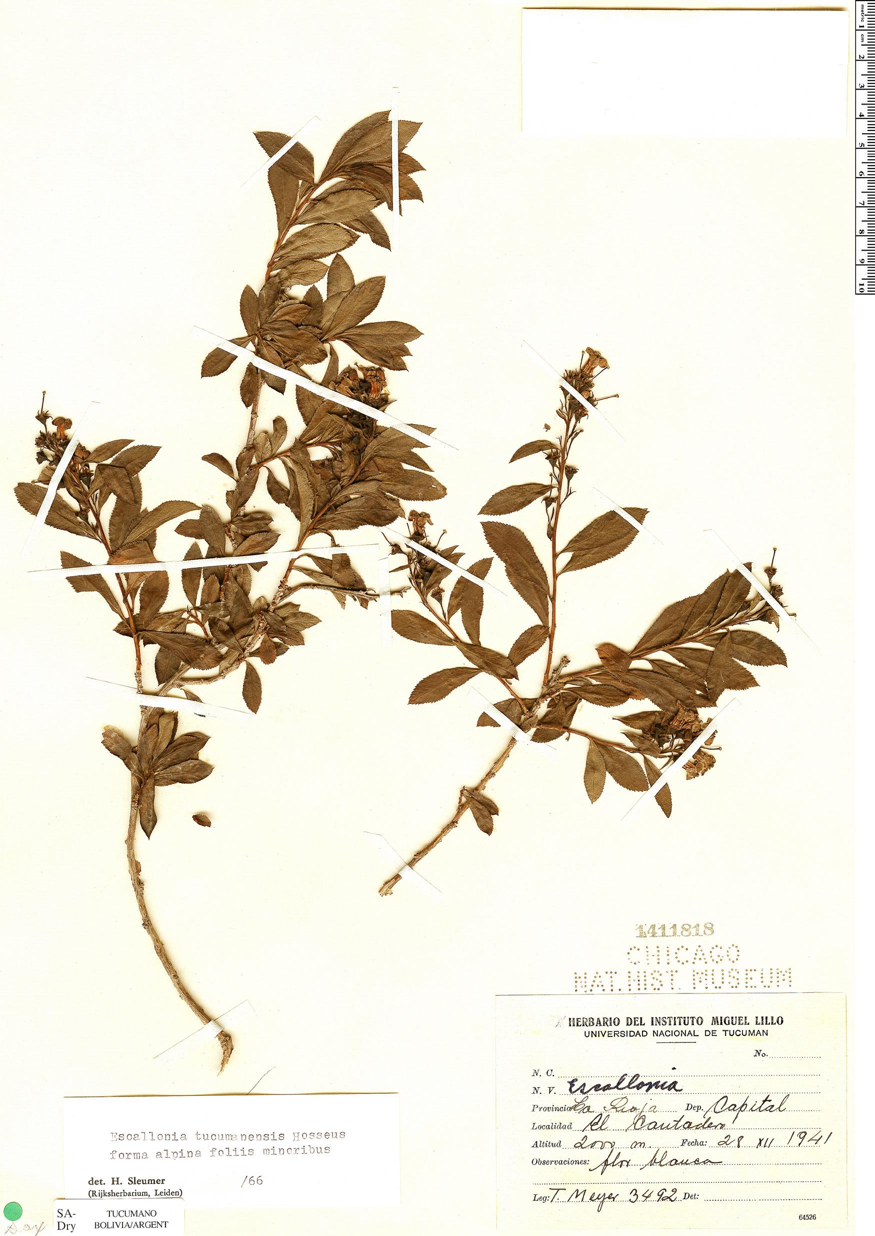 Specimen: Escallonia tucumanensis