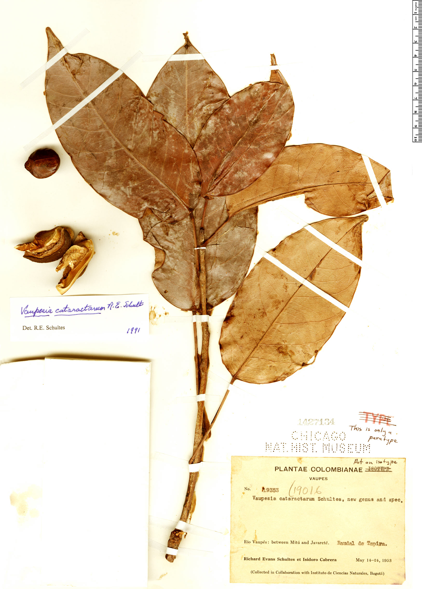 Espécimen: Vaupesia cataractarum