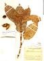 Herbarium sheet from RRC project