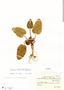 Dorstenia brasiliensis Lam., Brazil, P. K. H. Dusén 15695, F