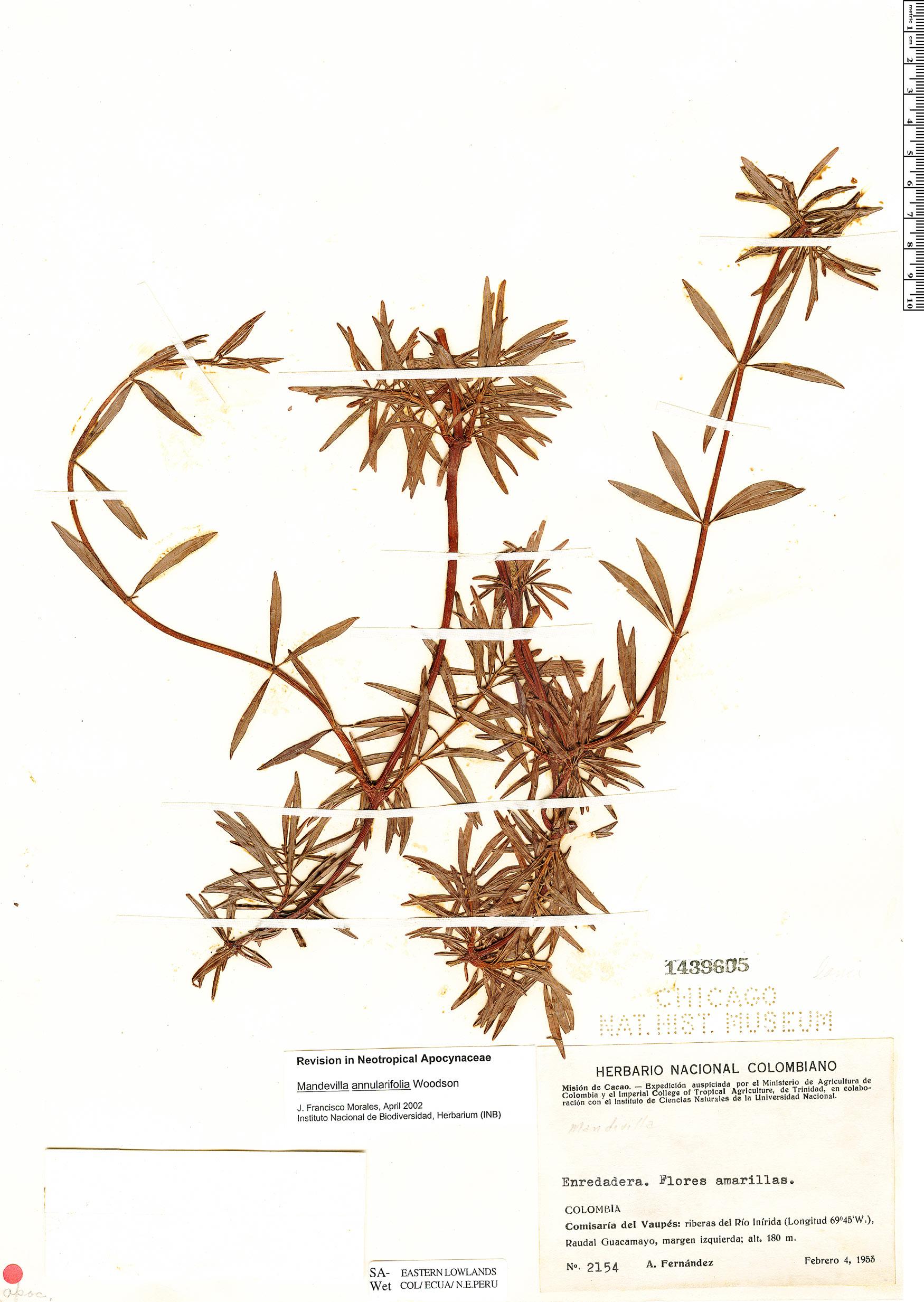 Specimen: Mandevilla annulariifolia