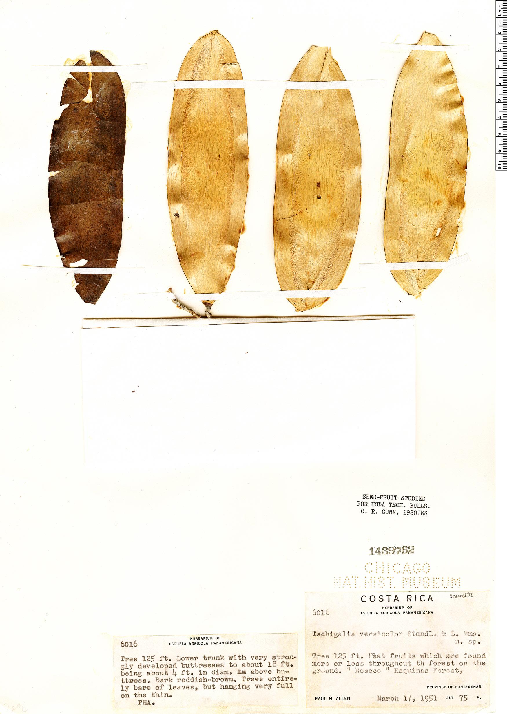 Specimen: Tachigali versicolor