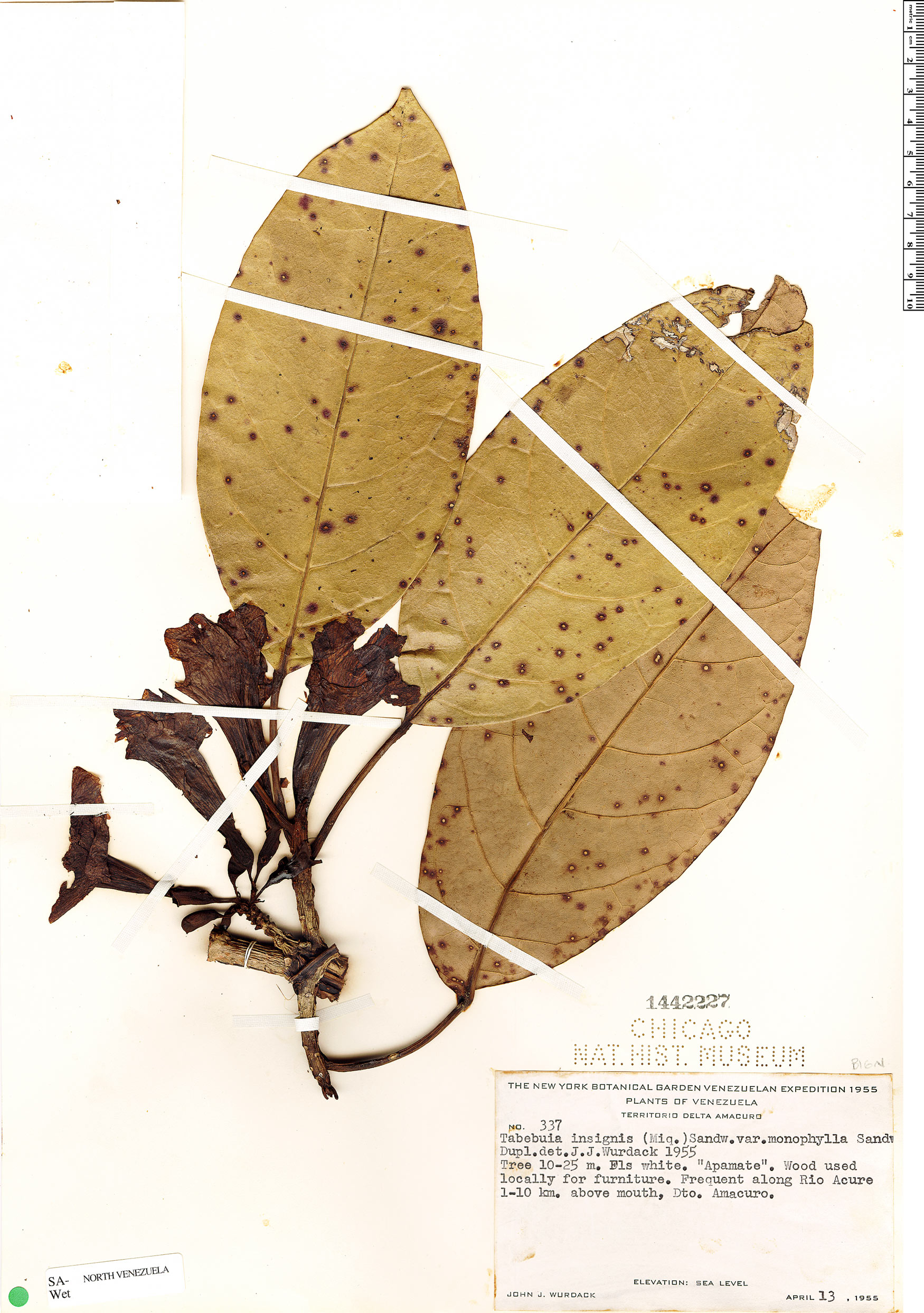 Specimen: Tabebuia insignis