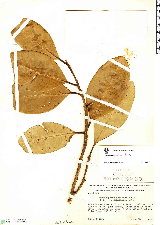 Specimen: Aspidosperma excelsum