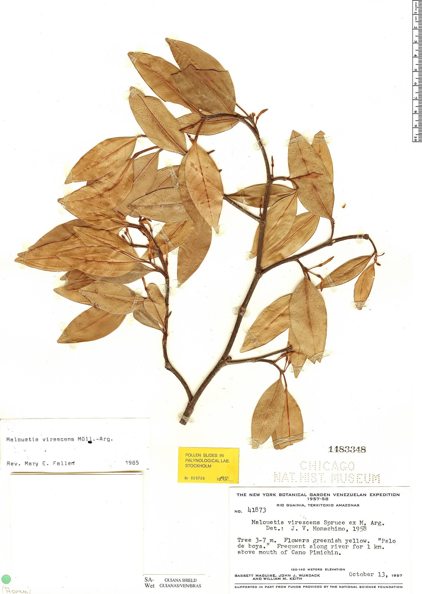 Specimen: Malouetia virescens