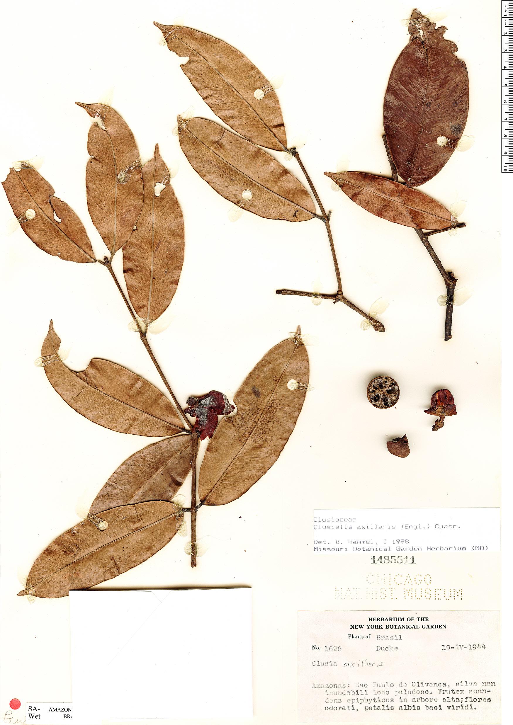 Specimen: Clusiella axillaris