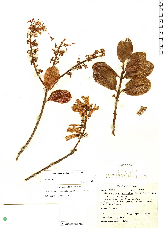 Espécimen: Gaiadendron punctatum