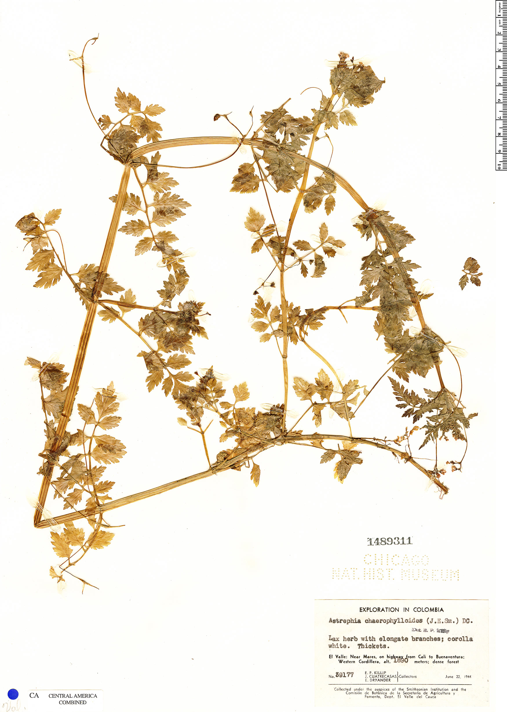 Astrephia chaerophylloides image