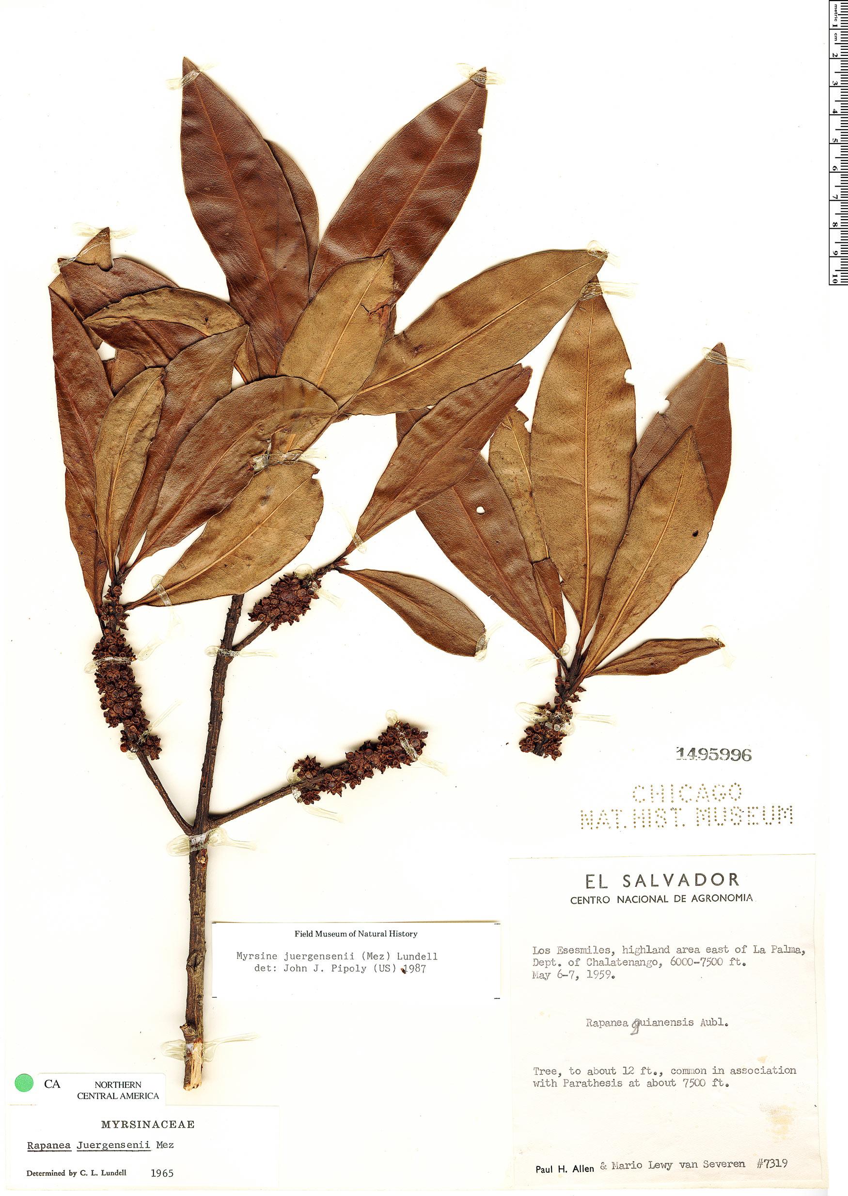 Specimen: Myrsine juergensenii