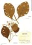 Cinchona pubescens Vahl, Peru, W. Hodge 6262, F