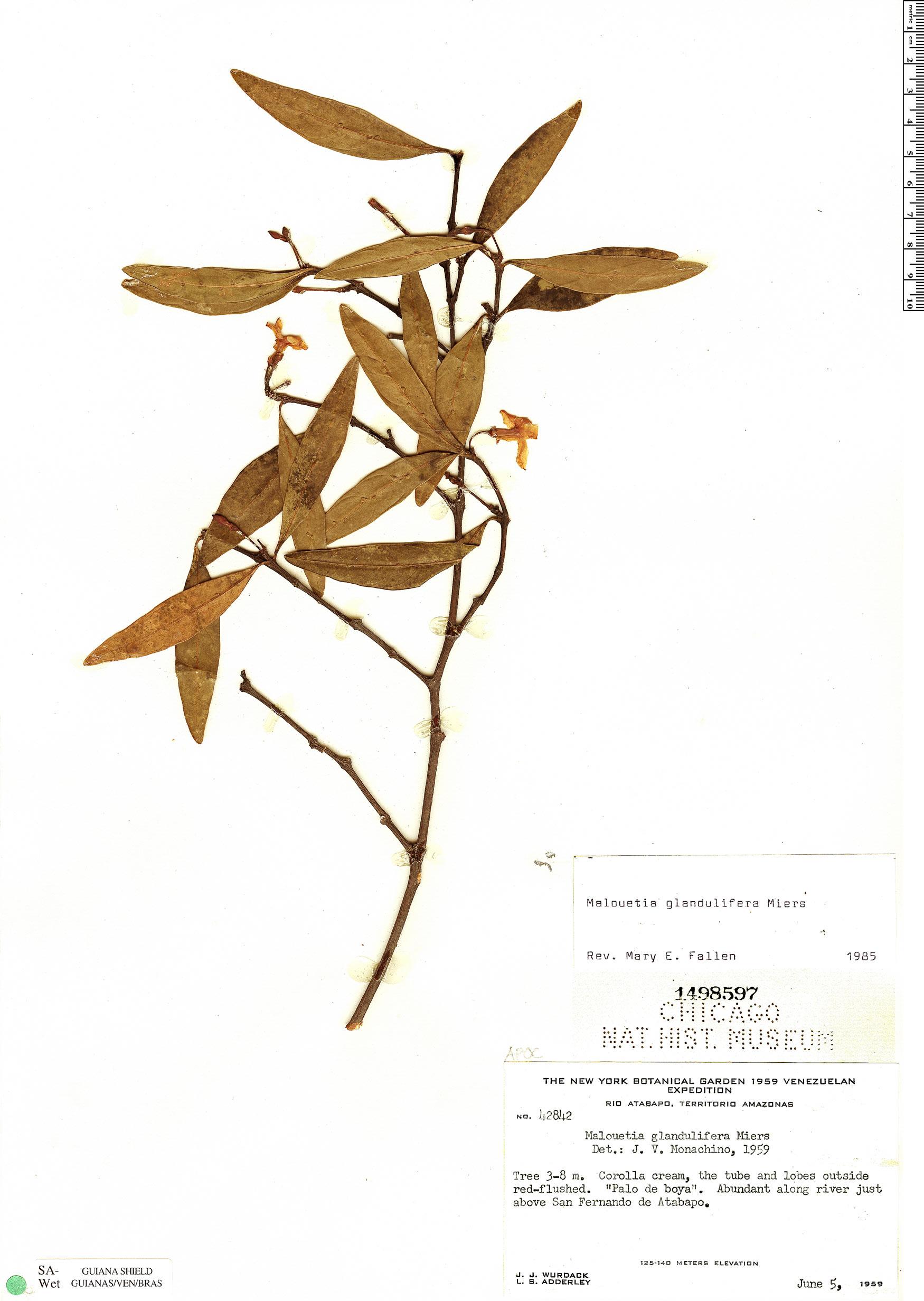 Specimen: Malouetia glandulifera