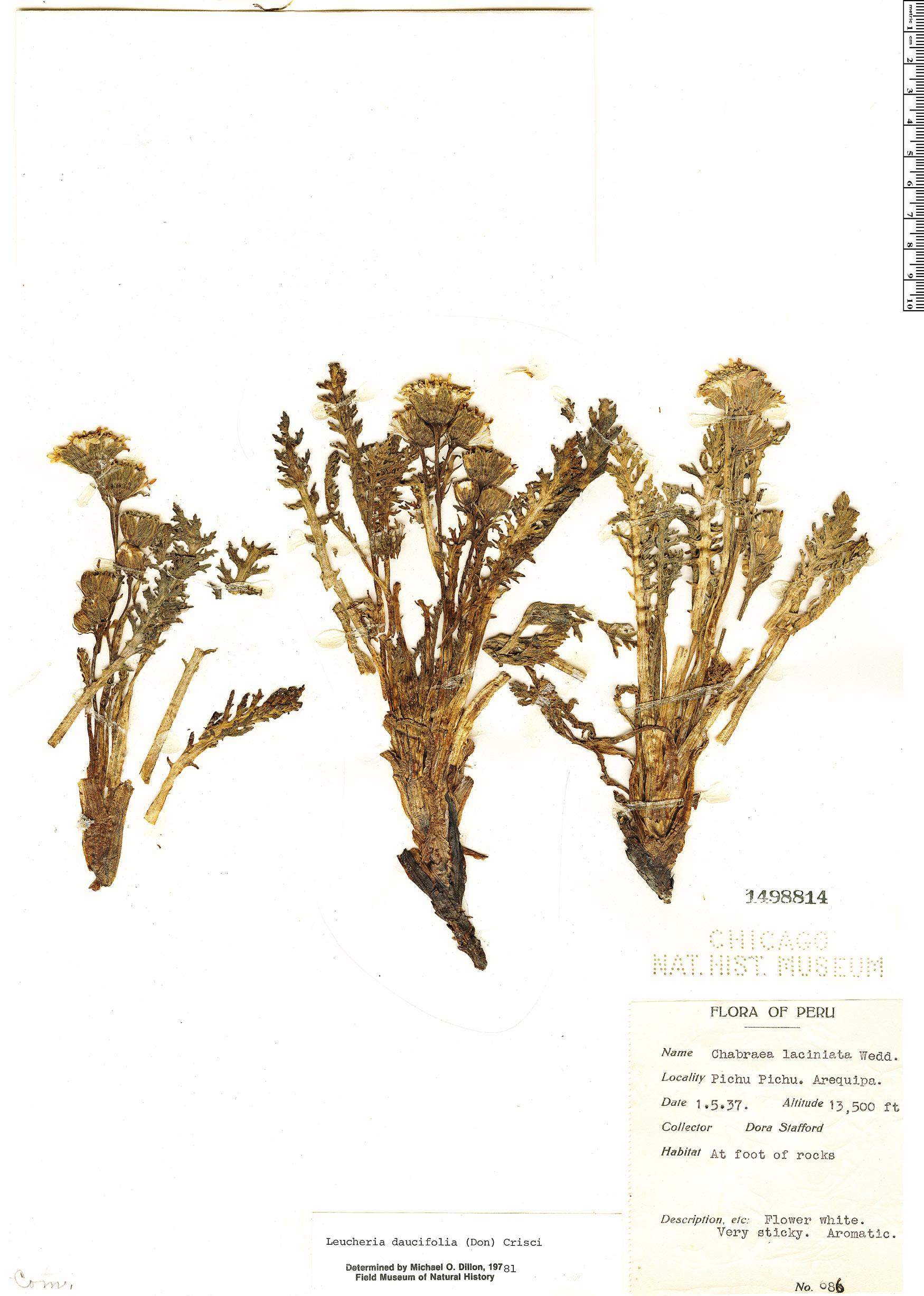 Specimen: Leucheria daucifolia