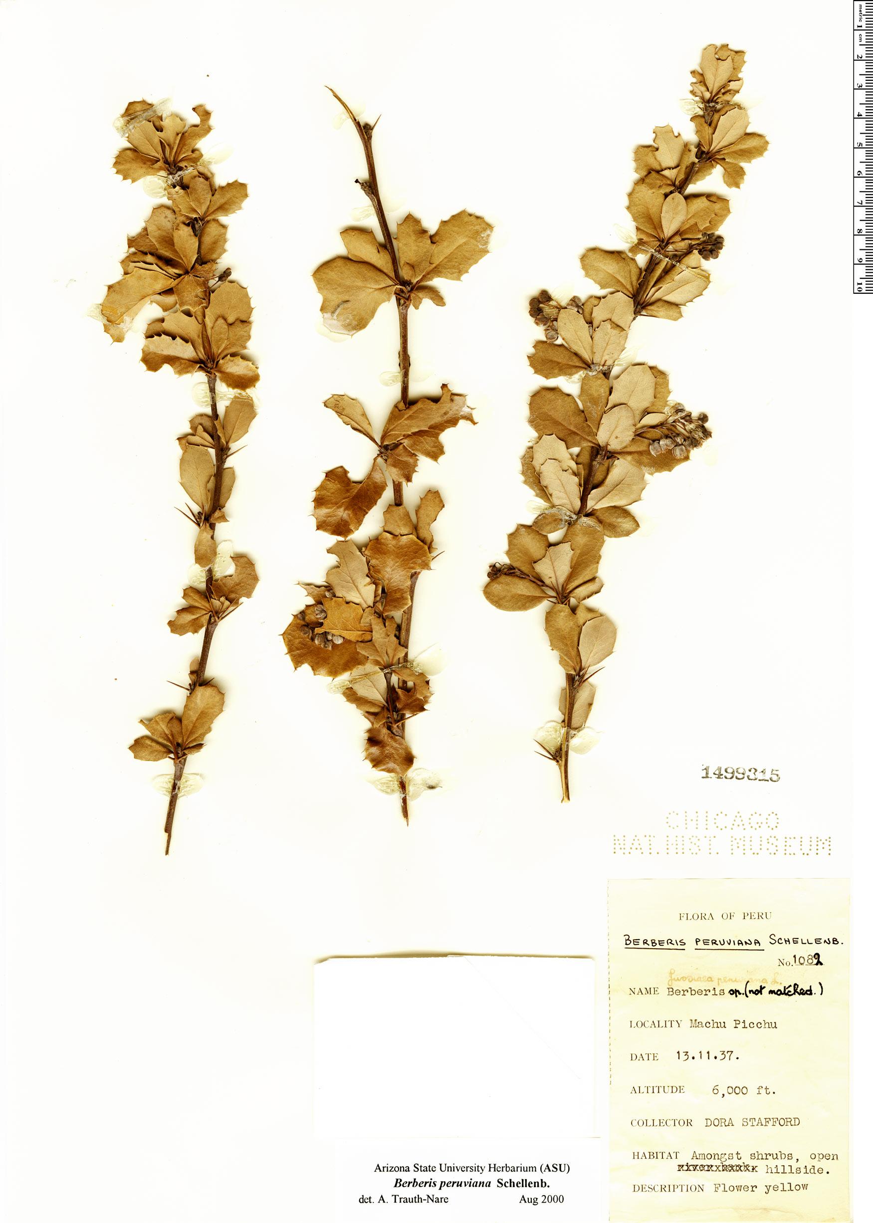 Specimen: Berberis peruviana