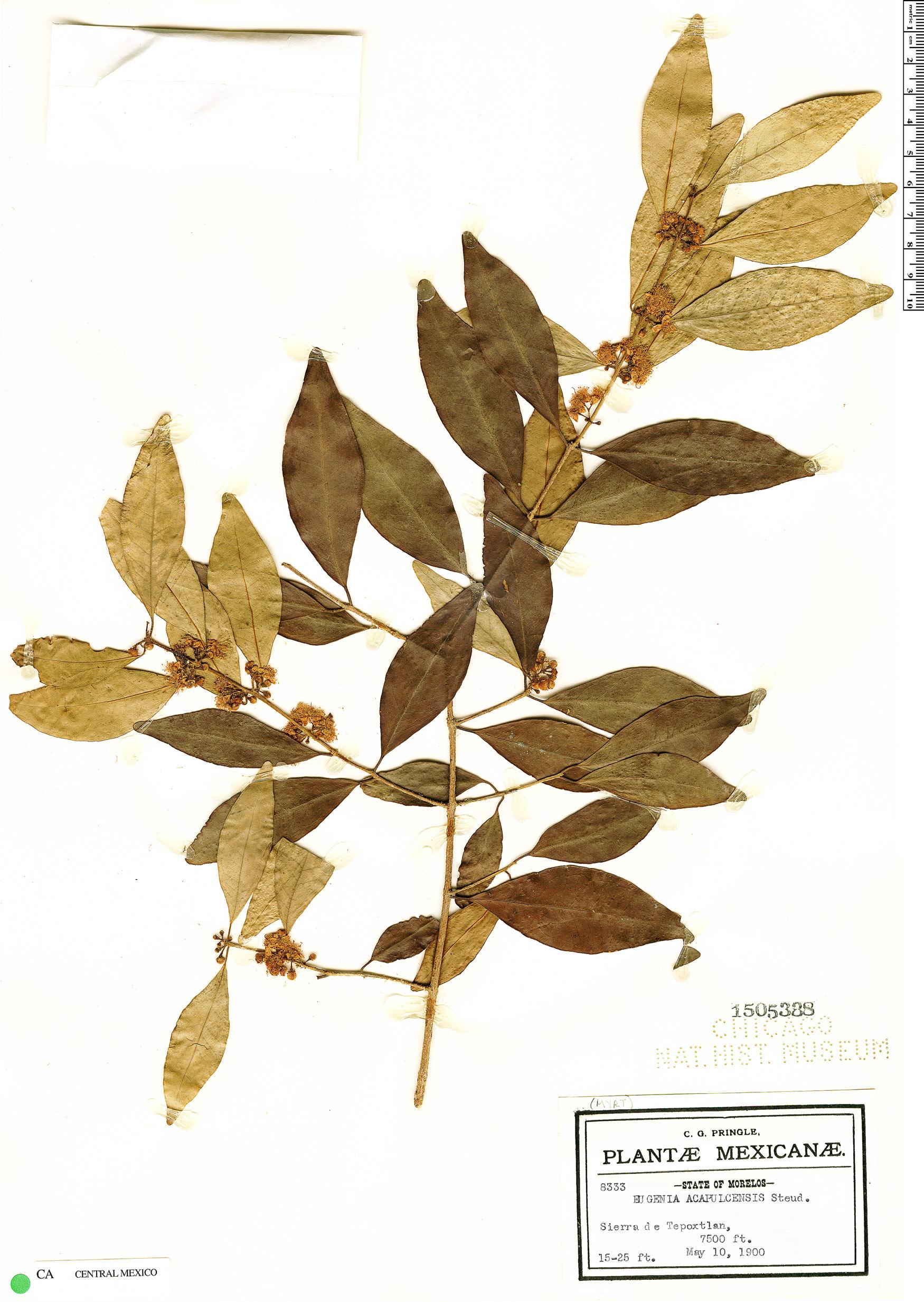 Specimen: Eugenia acapulcensis