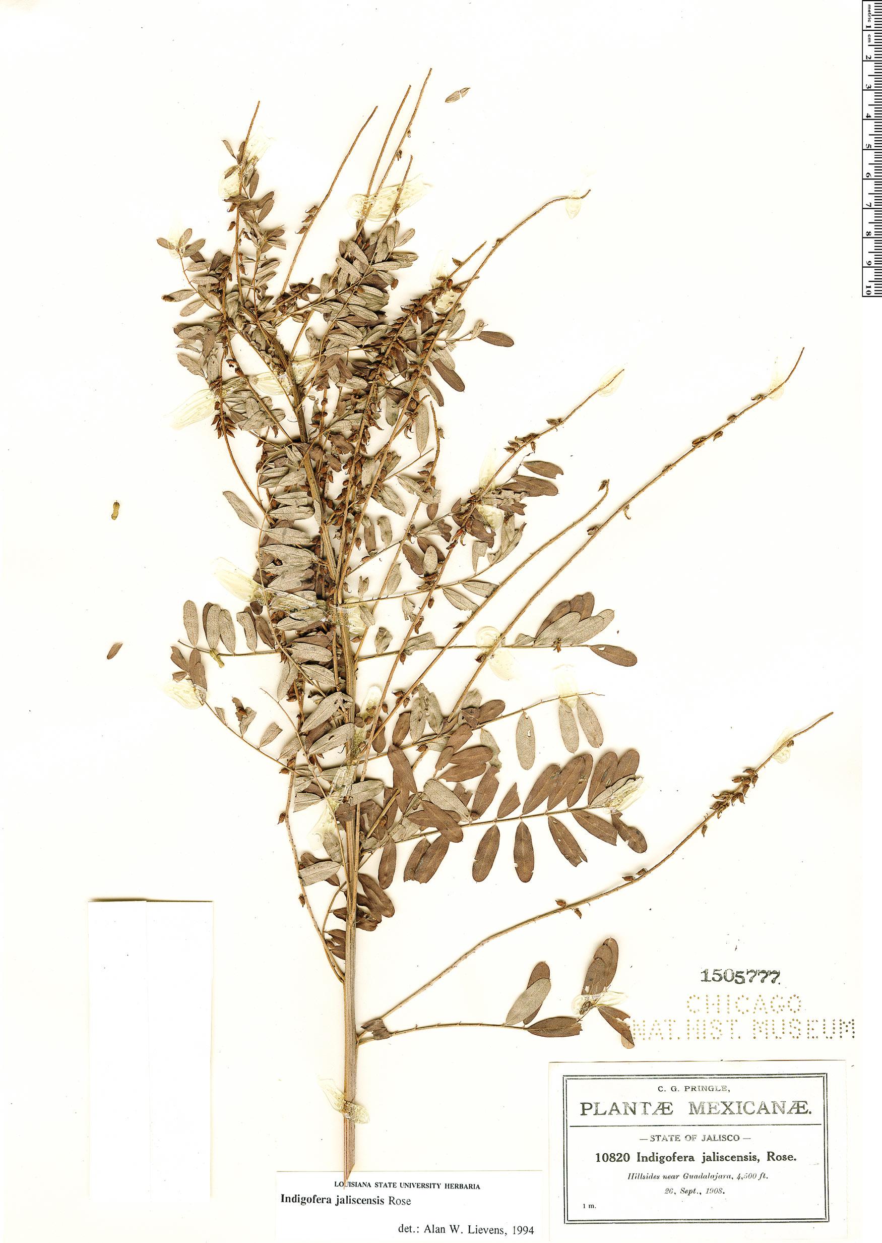 Espécime: Indigofera jaliscensis
