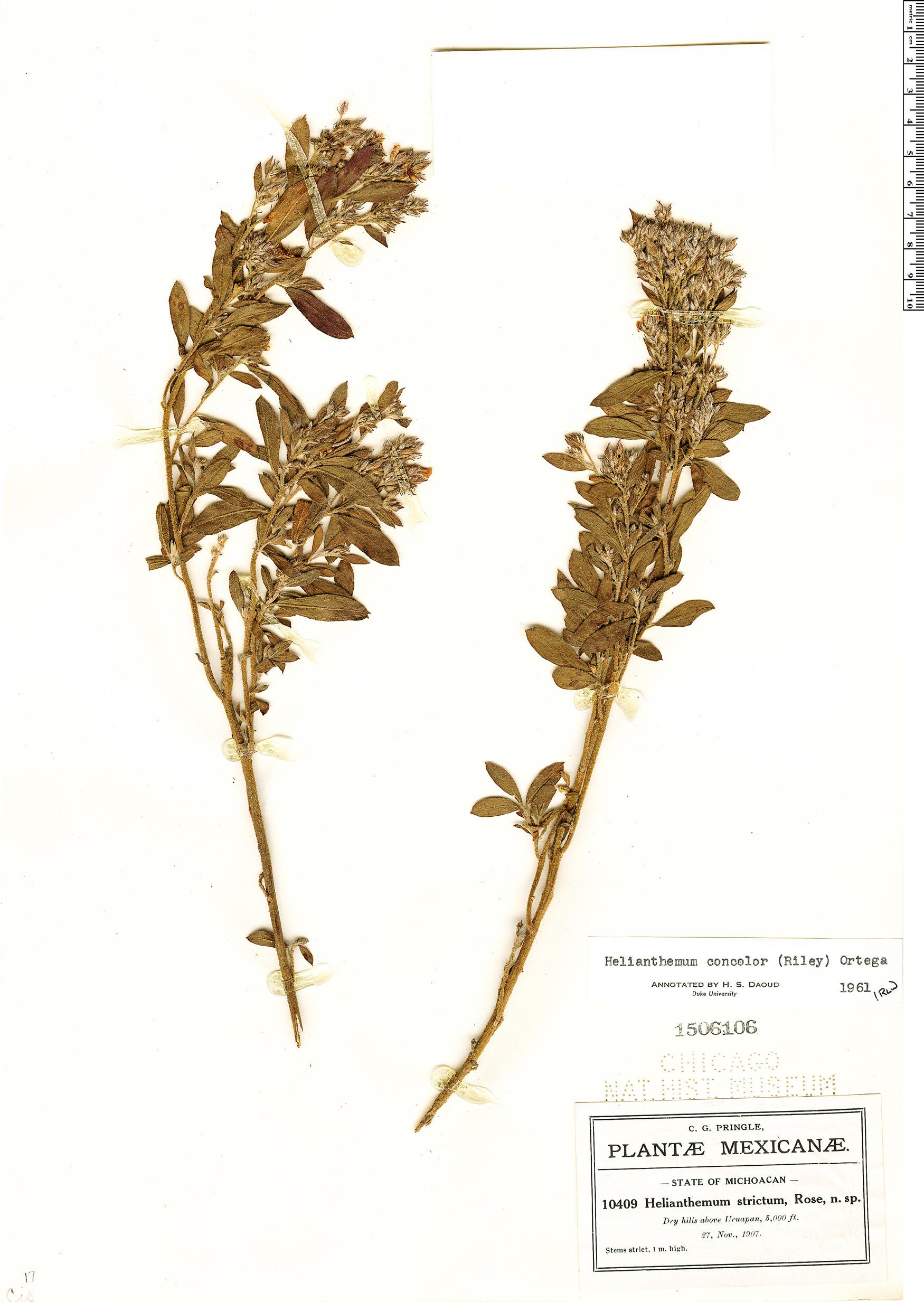 Crocanthemum concolor image