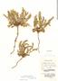 Astragalus arequipensis image