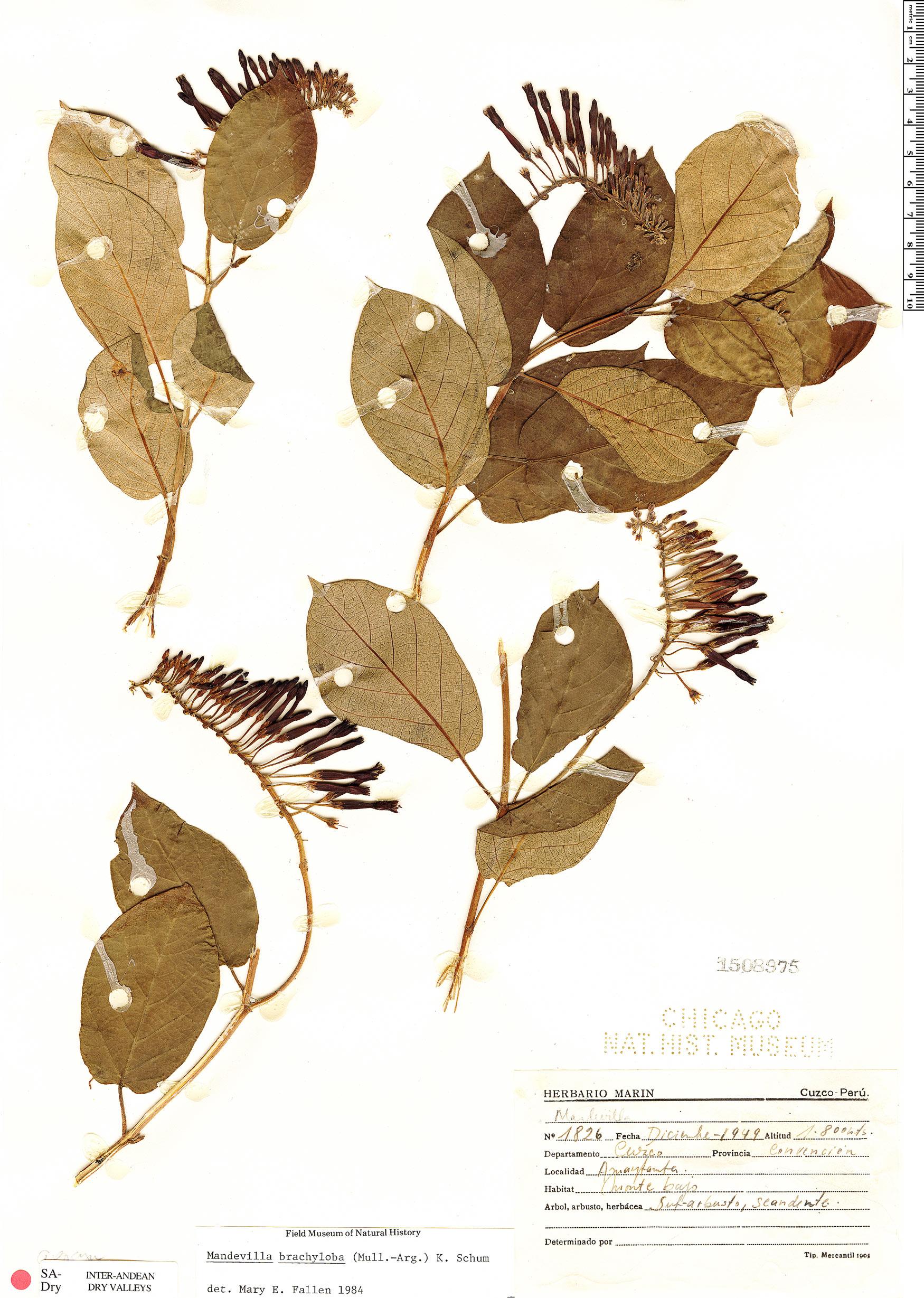 Espécimen: Mandevilla brachyloba